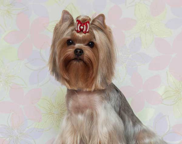 Yorkie Haircuts For Females  Yorkie Haircuts 100 Yorkshire terrier Hairstyles