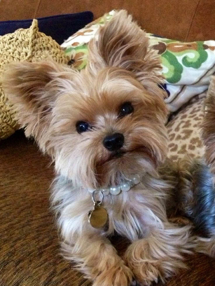 Yorkie Haircuts For Females  Top 35 Latest Yorkie Haircuts Yorkshire Terrier