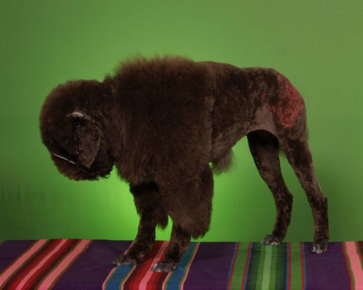 Best ideas about Funny Dog Haircuts . Save or Pin Funny Dogs' Haircuts Now.