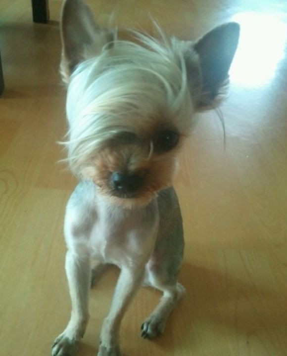 Best ideas about Funny Dog Haircuts . Save or Pin Pin by Snazzy Pup on Yorkies Pinterest Now.