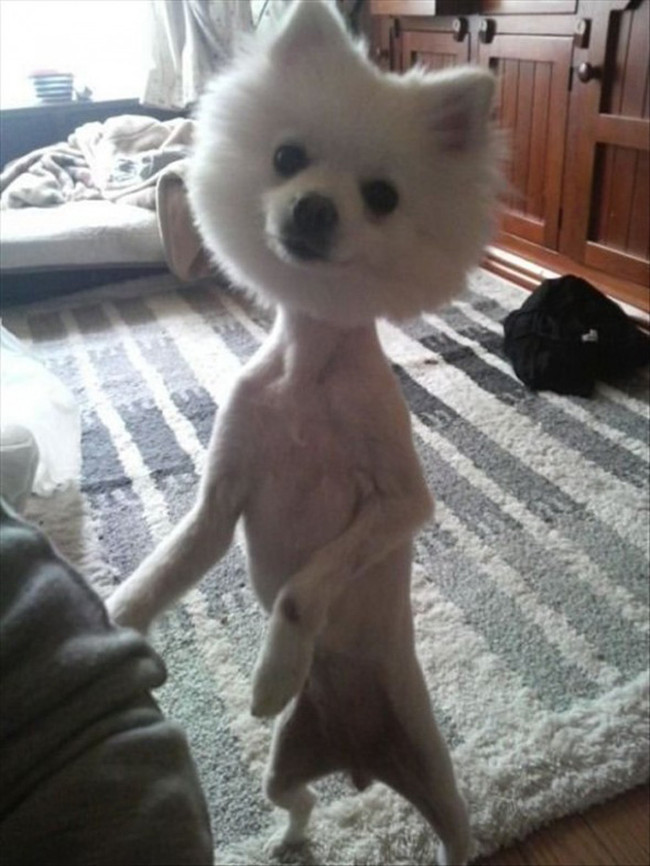 Best ideas about Funny Dog Haircuts . Save or Pin Dogs With Funny Bad Haircuts That Are Just Ridiculous Now.