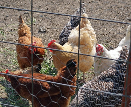 Best ideas about Best Backyard Chickens . Save or Pin meat chicken breeds the 5 best for raising in the backyard Now.