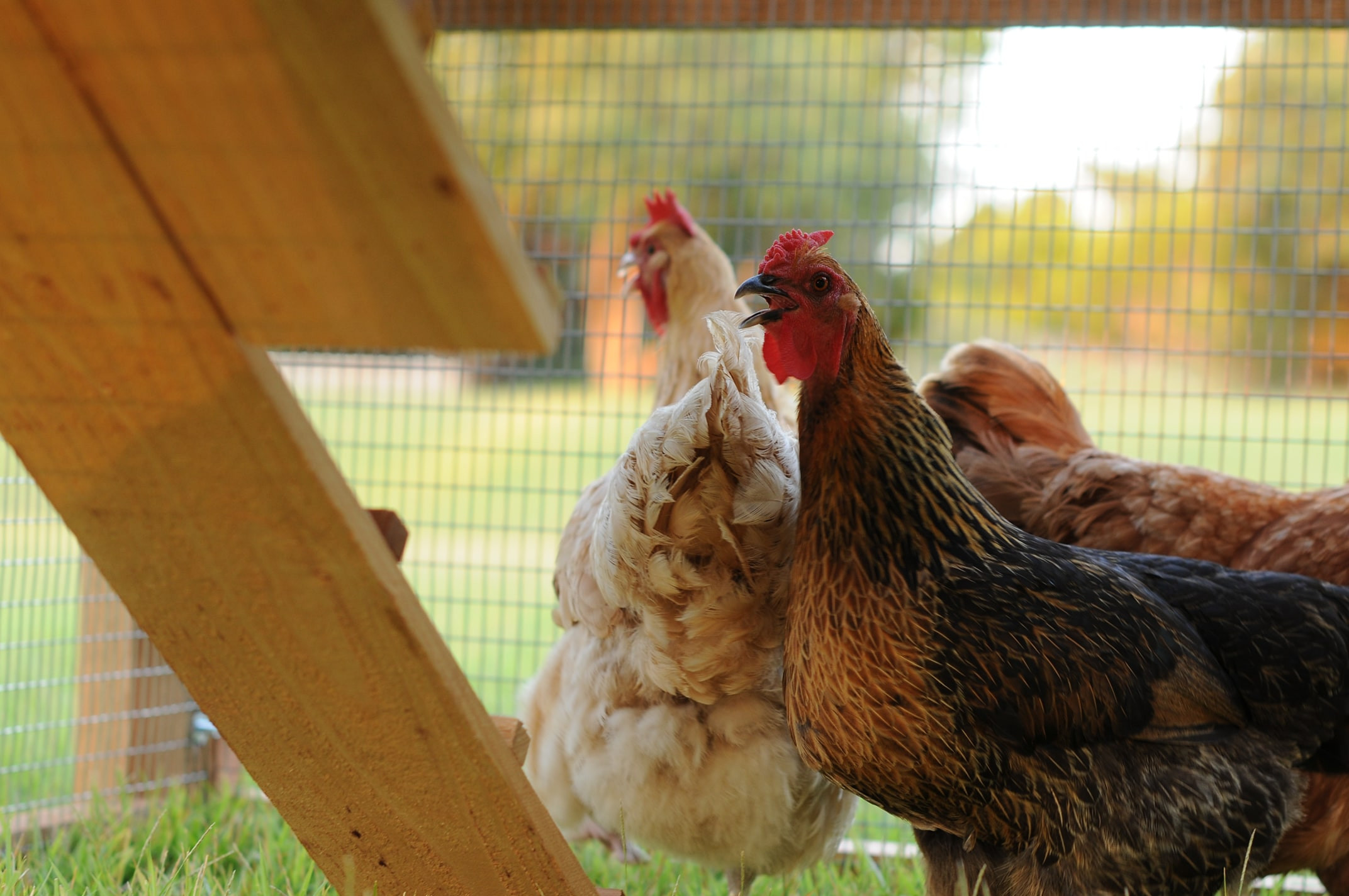 Best ideas about Best Backyard Chickens . Save or Pin Round Top Backyard™ Chicken Coop Now.
