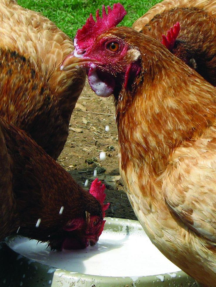 Best ideas about Best Backyard Chickens . Save or Pin Best Backyard Chickens Facts about Chickens Best Now.