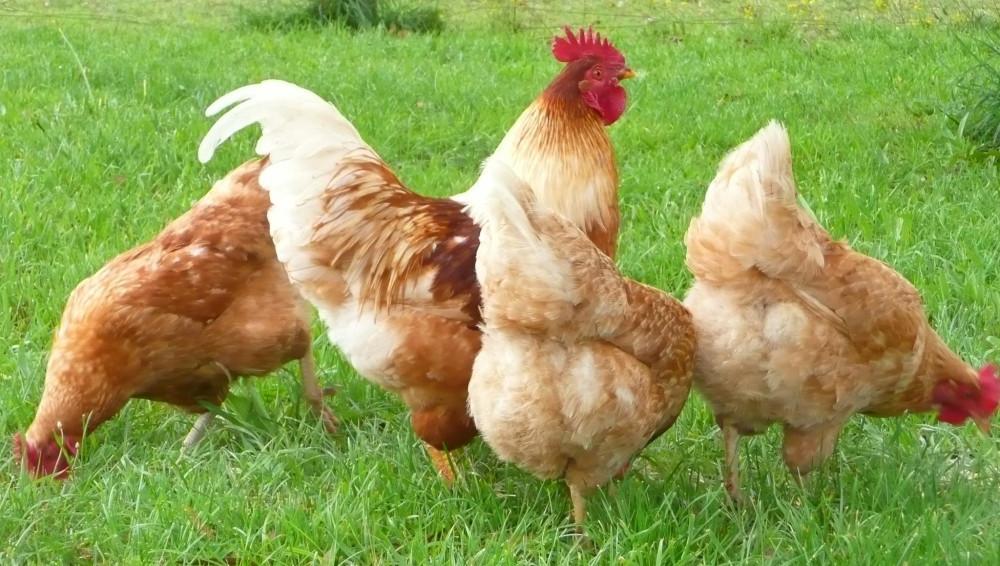 Best ideas about Best Backyard Chickens . Save or Pin Rooster Backyard Chicken Breeds — Design & Ideas Bantam Now.