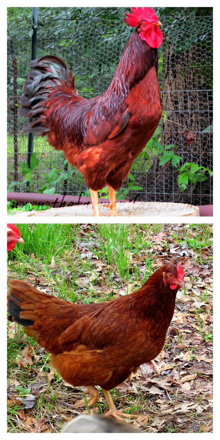 Best ideas about Best Backyard Chickens . Save or Pin 649 best Brown egg laying chicken breeds images on Now.