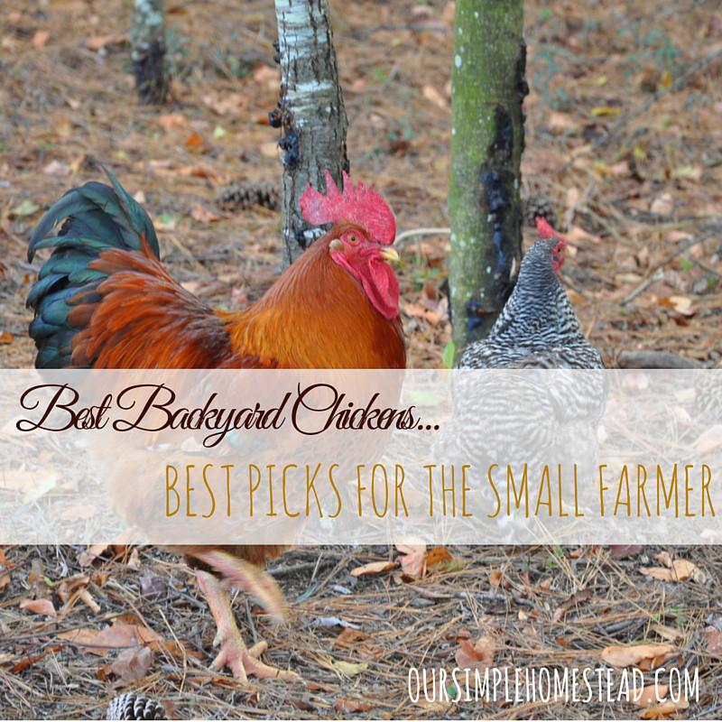 Best ideas about Best Backyard Chickens . Save or Pin Best Backyard Chickens Now.