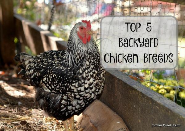 Best ideas about Best Backyard Chickens . Save or Pin Best Backyard Chickens Timber Creek Farm Now.
