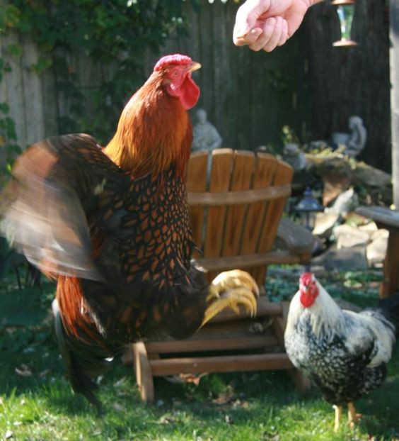 Best ideas about Best Backyard Chickens . Save or Pin Chicken Treat Chart The Best Treats for Backyard Now.