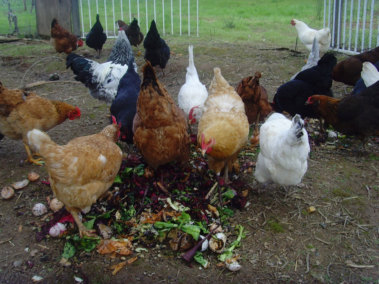 Best ideas about Best Backyard Chickens . Save or Pin 10 best and healthy treats for chickens the treats Now.
