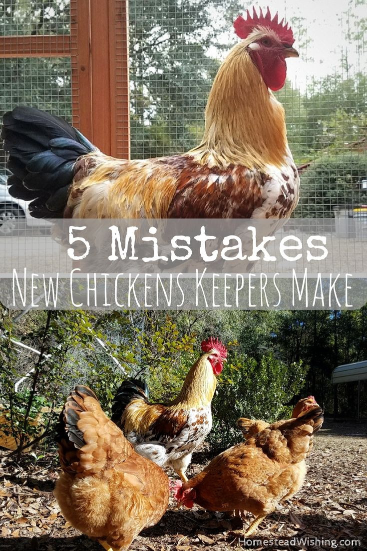 Best ideas about Best Backyard Chickens . Save or Pin Best 25 Raising chickens ideas only on Pinterest Now.