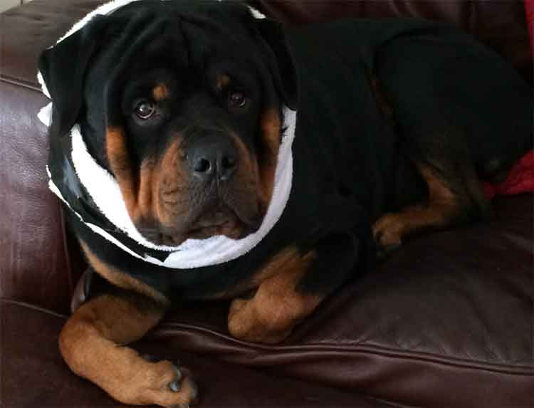 Best ideas about DIY E Collar For Dog . Save or Pin DIY fy Dog Cone Alternative Now.