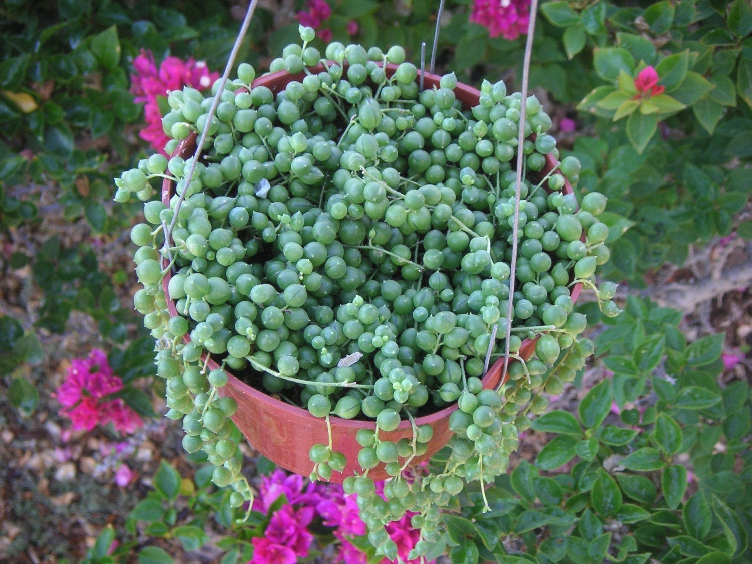 Best ideas about Hanging Succulent Planter . Save or Pin STRING OF PEARLS SUCCULENT HANGING PLANT Now.