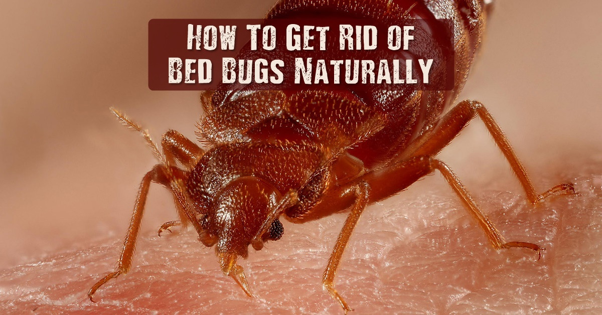 Best ideas about How To Get Rid Of Bed Bugs DIY . Save or Pin How To Get Rid of Bed Bugs Naturally SHTF Prepping Now.