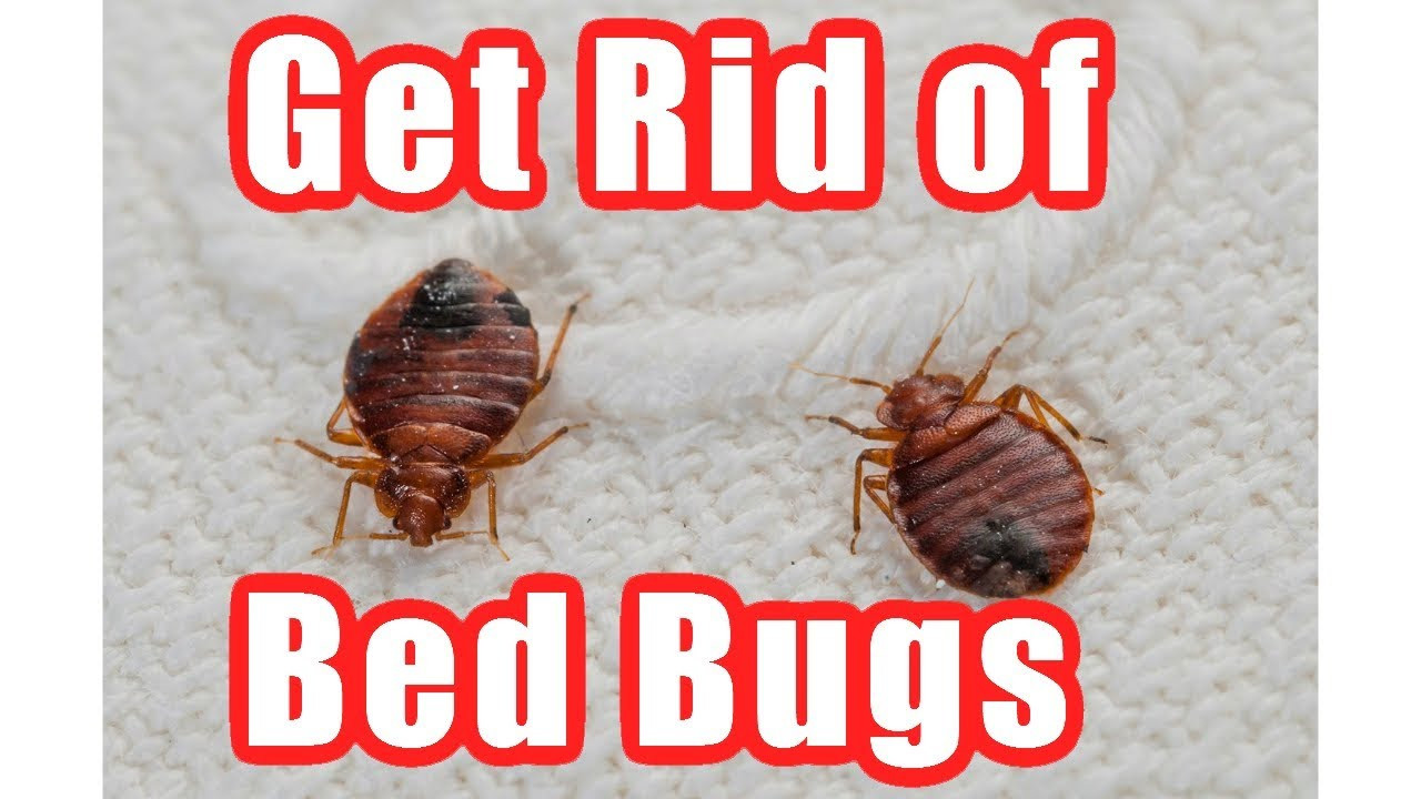 Best ideas about How To Get Rid Of Bed Bugs DIY . Save or Pin How to Get Rid Bed Bugs Fast At Home – DIY Bed Bug Trap Now.