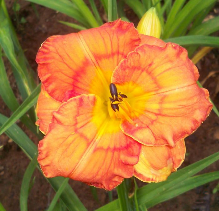 Best ideas about Mike'S Backyard Nursery . Save or Pin Festive Fall daylily Daylilies Pinterest Now.