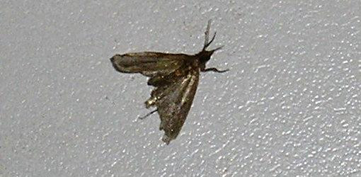 Best ideas about Pantry Moth Larvae . Save or Pin How to Get Rid of Pantry Moths and Larvae in Your Kitchen Now.