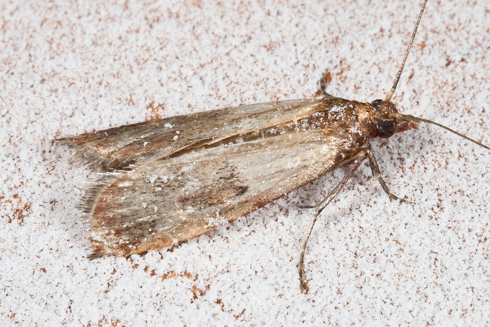 Best ideas about Pantry Moth Larvae . Save or Pin How to Manage your Meal Moth Infestation so They Don t Now.