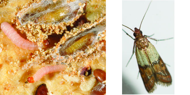 Best ideas about Pantry Moth Larvae . Save or Pin Pantry Moths Now.
