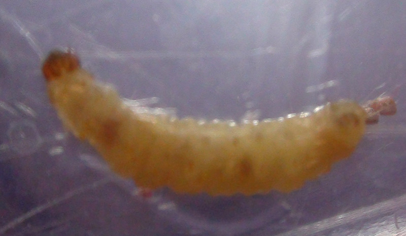 Best ideas about Pantry Moth Larvae . Save or Pin Pantry Moths Clothes Moths Case Bearers and Meal Moths Now.