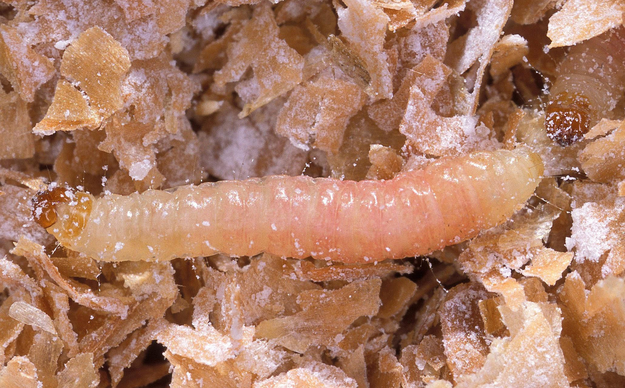Best ideas about Pantry Moth Larvae . Save or Pin Get Rid of Indianmeal Moths Now.