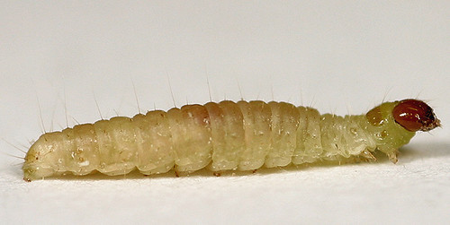 Best ideas about Pantry Moth Larvae . Save or Pin Indian meal moth Larvae Now.