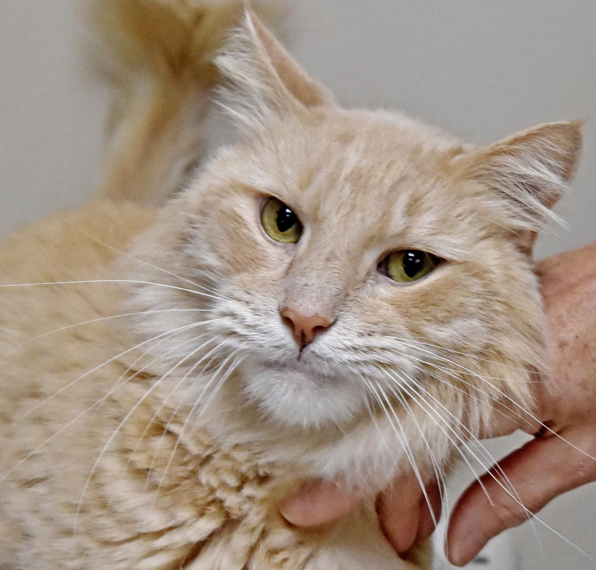 Best ideas about Pet Pantry Lancaster . Save or Pin Pet of the week Adopt Haystack a 2 year old domestic Now.