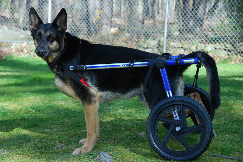 20 Best Small Dog Wheelchair Diy Best Collections Ever