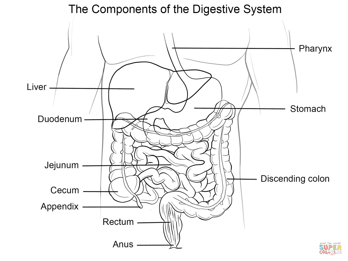 Best ideas about Digestive System Coloring Sheets For Kids . Save or Pin Human Digestive System coloring page Now.