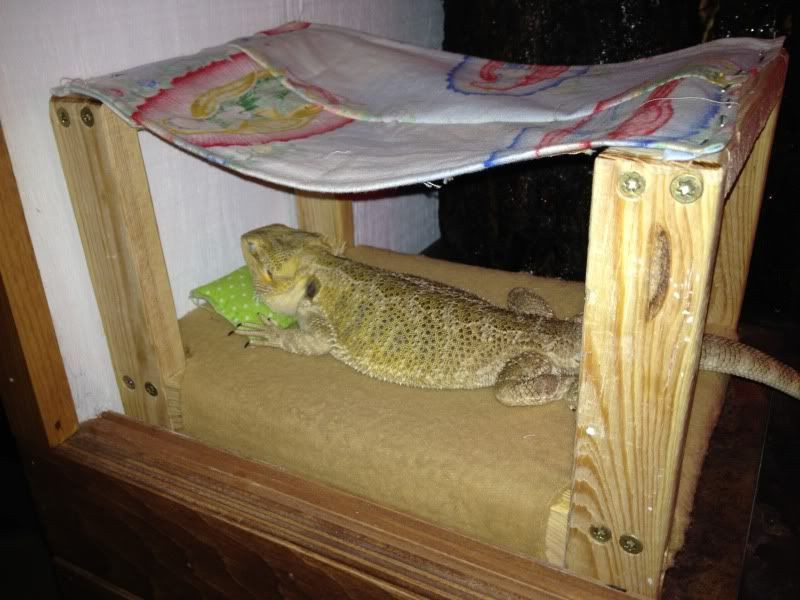 Best ideas about DIY Bearded Dragon Cage . Save or Pin Bearded Dragon Sleeps Out of Cage DIY Bed • Bearded Now.
