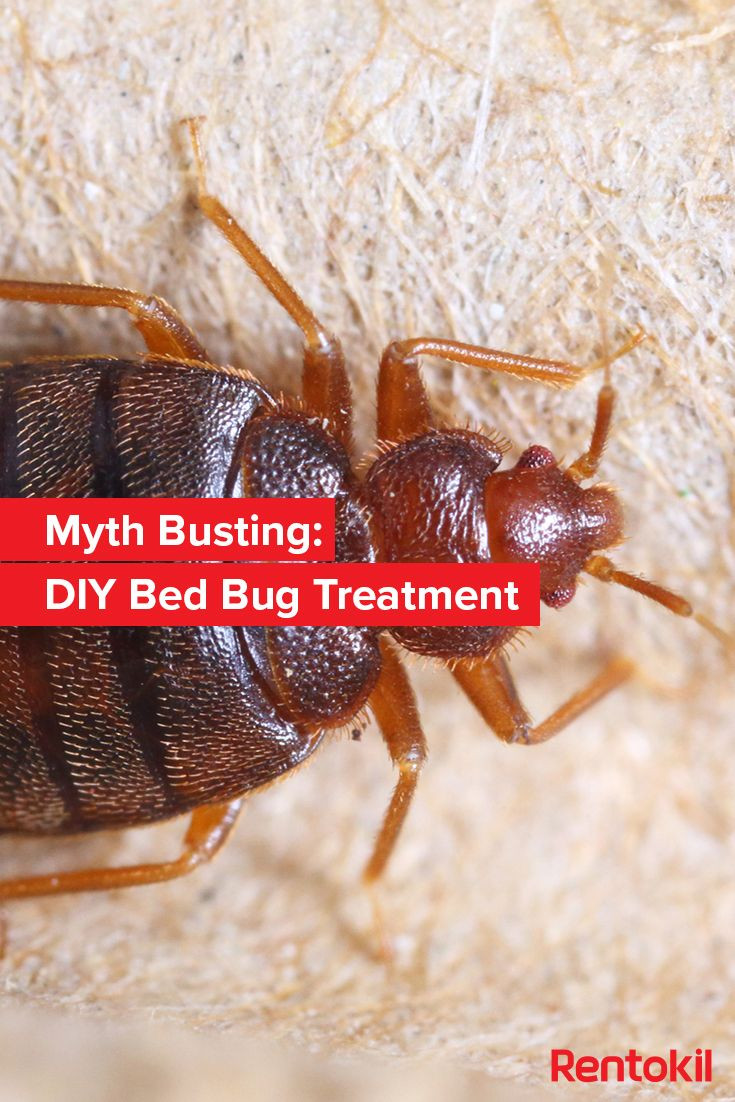 Best ideas about DIY Bed Bug . Save or Pin 129 best Bed Bugs images on Pinterest Now.