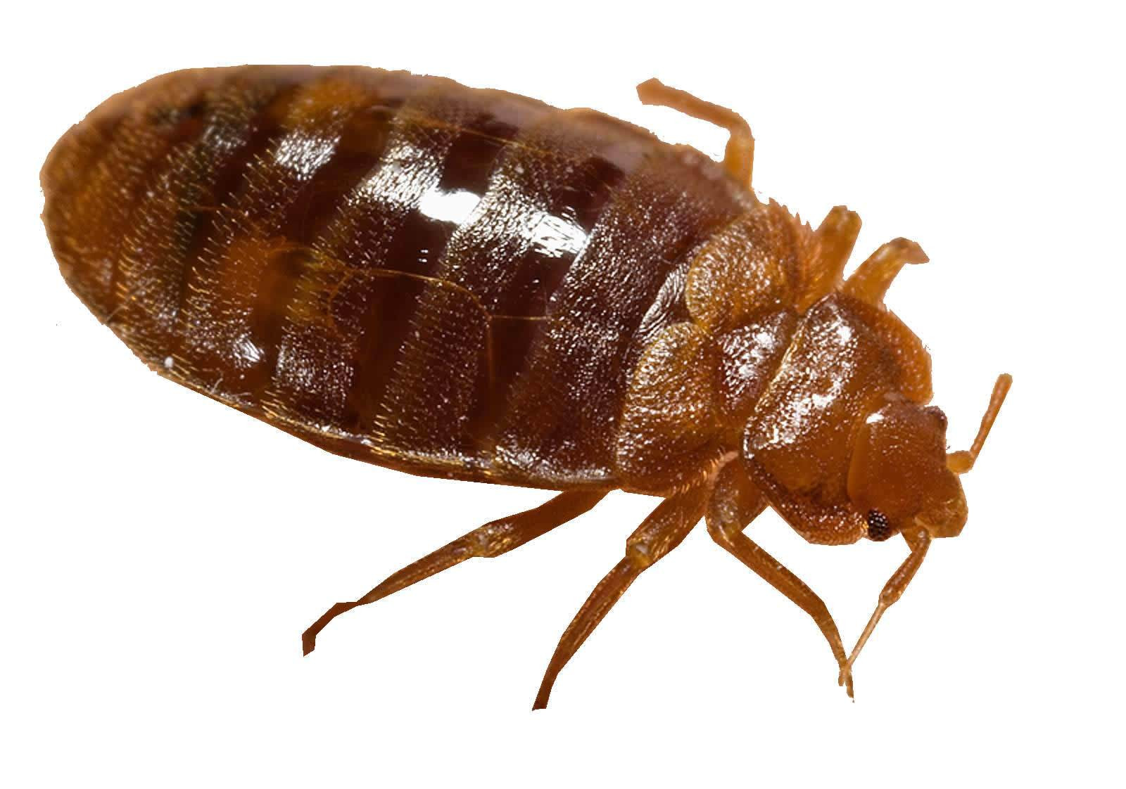 Best ideas about DIY Bed Bug . Save or Pin All About Bed Bugs DIY Bug Control Now.