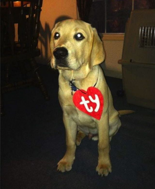 Best ideas about DIY Costumes For Dogs . Save or Pin TY puppy great simple costume idea Now.