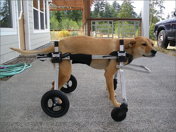 Best ideas about DIY Doggie Wheelchair . Save or Pin 25 Best Ideas about Dog Wheelchair on Pinterest Now.
