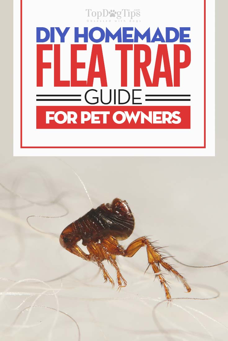 Best ideas about DIY Flea Trap . Save or Pin Homemade Flea Trap DIY Guide Cheap and Easy Way to Now.