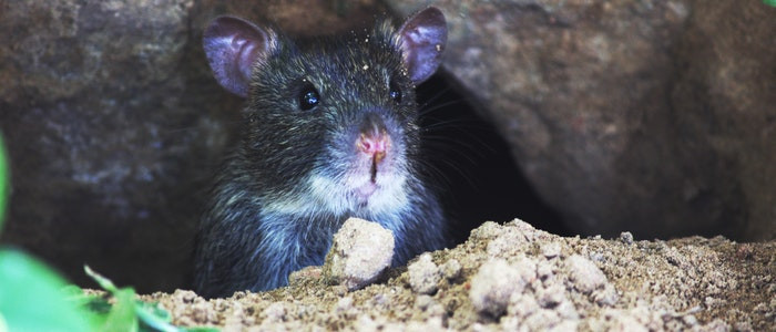 Best ideas about DIY Mouse Poison . Save or Pin Homemade Rat Poison that Works Faster than Your Cat Now.