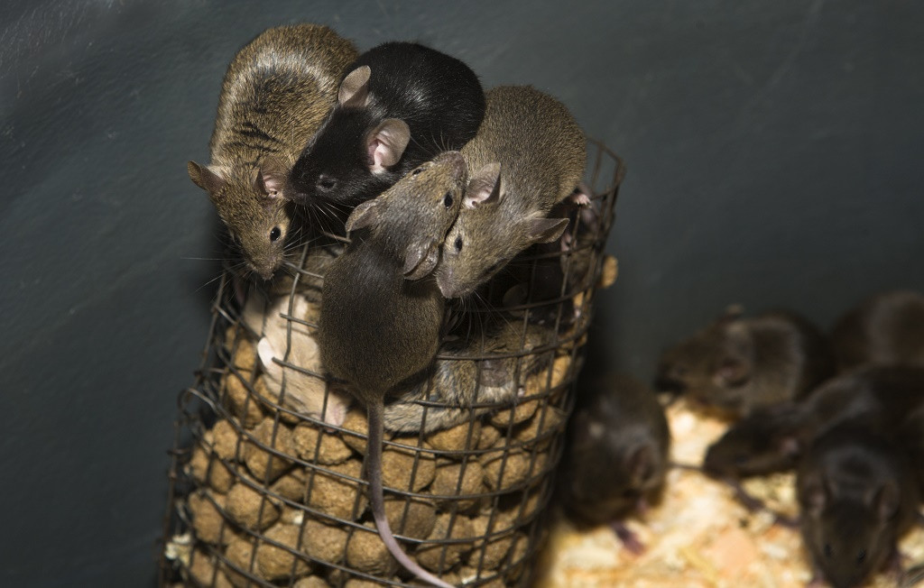 Best ideas about DIY Mouse Poison . Save or Pin Homemade Rat Poison 3 Is A Super Deadly Concoction Oct Now.