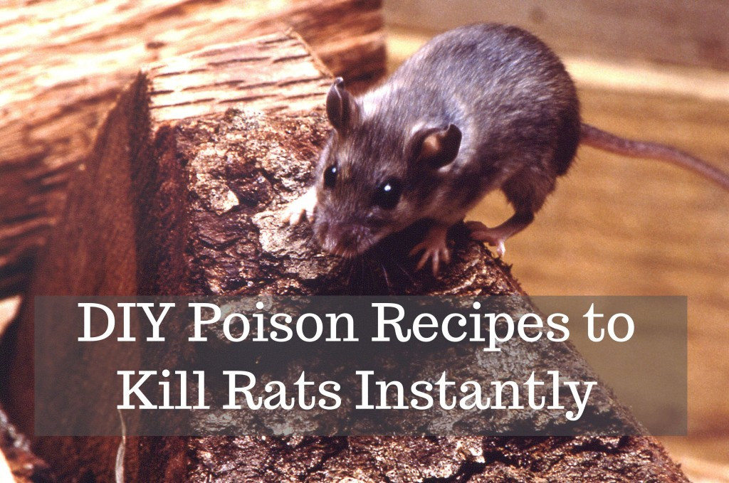 Best ideas about DIY Mouse Poison . Save or Pin How to Get Rid of Rats With Homemade Poison Now.