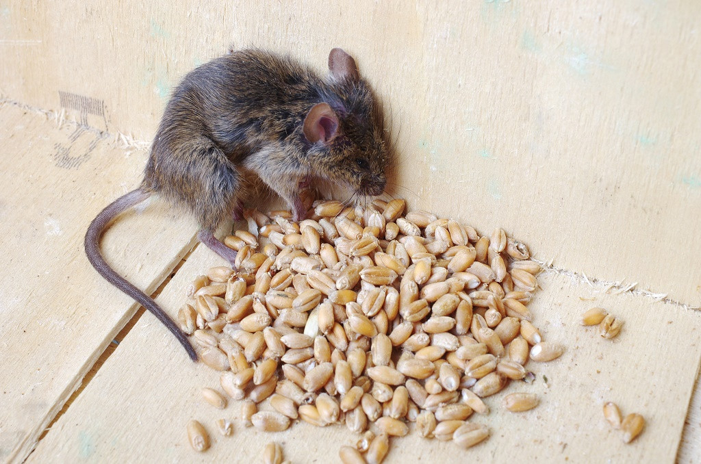 Best ideas about DIY Mouse Poison . Save or Pin Homemade Mouse Poison Baking Soda How To Make It In 3 Now.