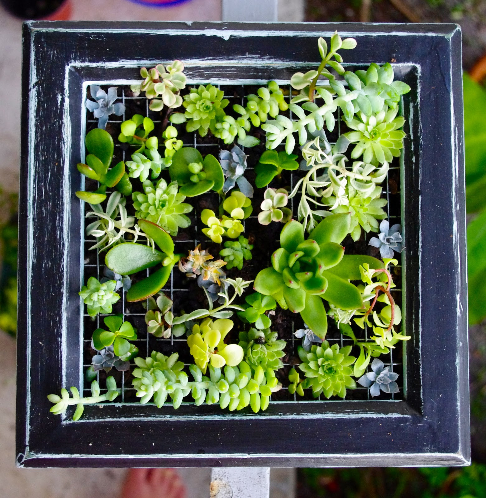 Best ideas about DIY Succulent Wall . Save or Pin turquoise violets DIY succulent wall garden Now.