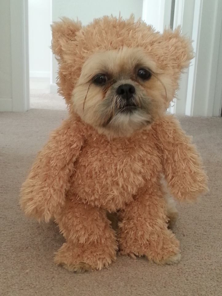 Best ideas about DIY Teddy Bear Costume . Save or Pin How To Make a Walking Teddy Bear Costume for Your Dog Now.