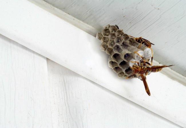 Best ideas about DIY Wasp Killer . Save or Pin Homemade Wasp Trap Bob Vila Now.