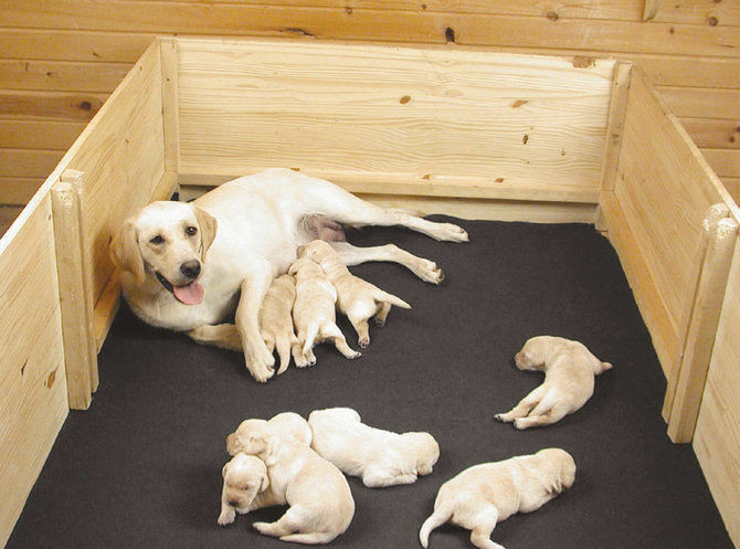 Best ideas about DIY Whelping Box . Save or Pin How to Build a Whelping Box Now.