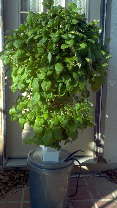 Best ideas about Hydroponic Tower Garden DIY . Save or Pin Aeroponic strawberry tower gardening Now.