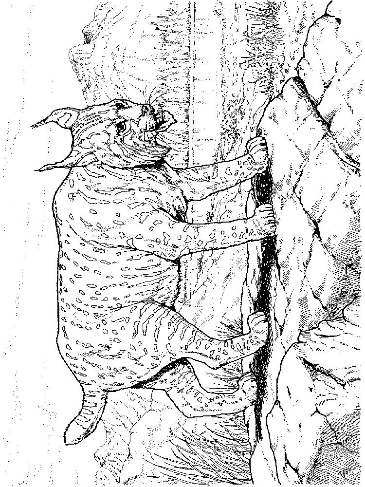 Best ideas about Lynx Coloring Sheets For Girls . Save or Pin Lynx Free Coloring Pages Now.