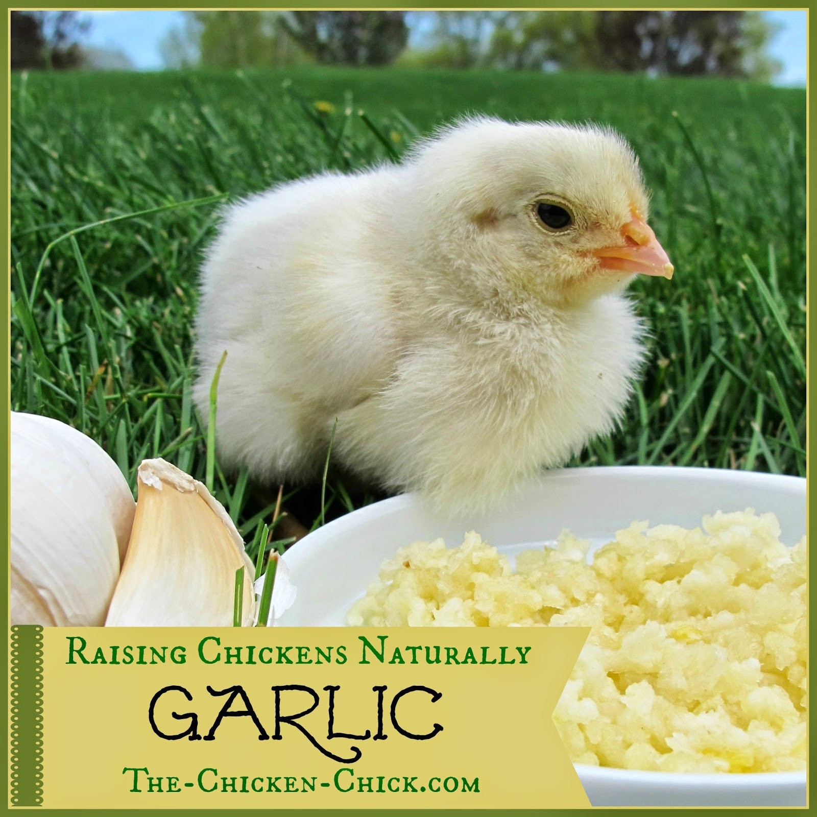 Best ideas about Raising Backyard Chickens . Save or Pin Raising Chickens Naturally GARLIC with Herbalist Susan Now.