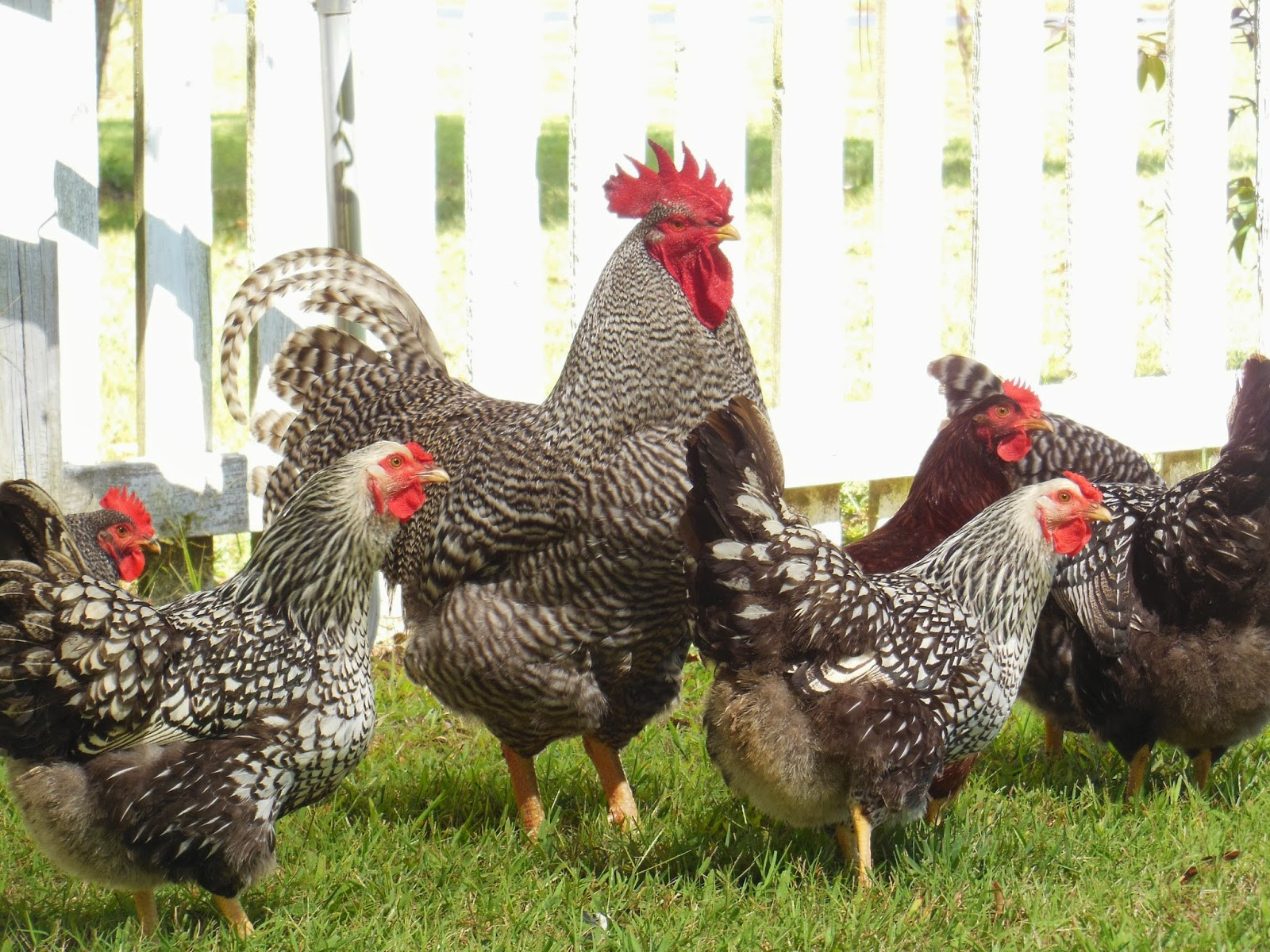 Best ideas about Raising Backyard Chickens . Save or Pin Raising Backyard Chickens for Eggs Part 1 – Getting Baby Now.