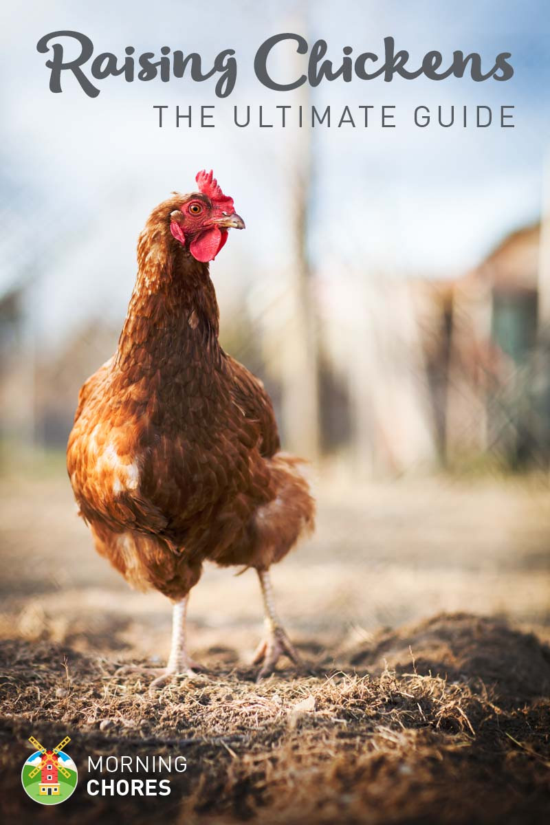 Best ideas about Raising Backyard Chickens . Save or Pin Raising Chickens in Your Backyard The Ultimate Guide Now.