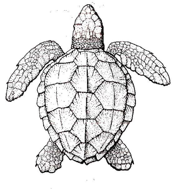 Best ideas about Turtle Coloring Pages For Adults . Save or Pin realistic turtle coloring pages Google Search Now.