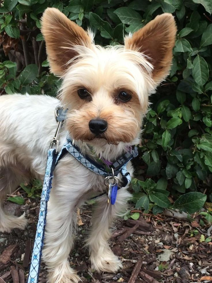 Best ideas about Yorkie Hairstyles For Males . Save or Pin 53 best Animals Doggo images on Pinterest Now.